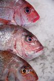 Snapper on ice Stock Image