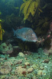 Snapper at kelp forest Stock Photography