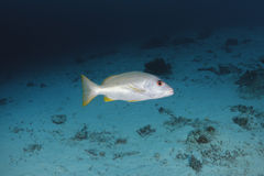 Snapper Onespot swimm στο νερό της θάλασσας Andaman, Ταϊλάνδη Στοκ εικόνες με δικαίωμα ελεύθερης χρήσης