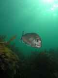 Snapper over kelp Stock Images
