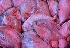 Snapper. Raw snapper fish selling in market, shown as fishing and agriculture concept Royalty Free Stock Image