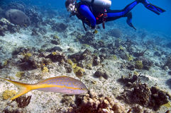 Snapper and scuba diver. Yellowtail snapper and male scuba diver in blue and black wetsuit in caribbean ocean Royalty Free Stock Photos