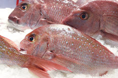 Snapper Royalty Free Stock Photography