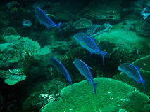 Snapper Shoal Royalty Free Stock Photos