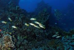Snapper sulla scogliera - Mar Rosso fotografia stock libera da diritti