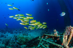 Snapper swim around underwater wreckage. Colorful tropical fish and SCUBA divers swim around the manmade debris of an abandoned oil rig stock photos