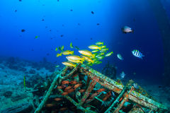 Snapper swim around underwater wreckage. Colorful tropical fish and SCUBA divers swim around the manmade debris of an abandoned oil rig royalty free stock photo