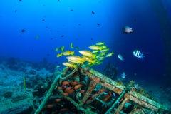 Snapper swim around underwater wreckage Royalty Free Stock Photo