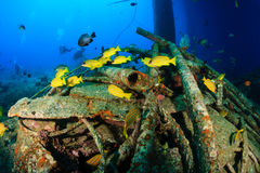 Snapper swim around underwater wreckage Stock Photo