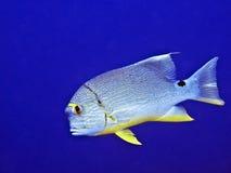 Snapper van Sailfin (spilurus Symphorichthys) royalty-vrije stock afbeelding