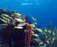 snapper yellowtail Στοκ εικόνα με δικαίωμα ελεύθερης χρήσης