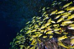 Snappers Bluelined Στοκ φωτογραφία με δικαίωμα ελεύθερης χρήσης