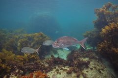 Snappers among brown sea weeds. Australasian snappers Pagrus auratus among brown sea weeds of temperate Pacific ocean Stock Photos