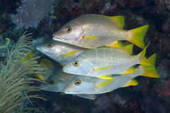 Snappers on a Coral Reef. School of snappers on a coral reef. Taken underwater in the Florida Keys stock photo