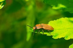 Snapping beetle Royalty Free Stock Photography