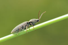 Snapping beetle Stock Photos