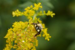 Bumble Bee Stares Down Photographer royalty free stock photography