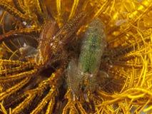 Snapping Crinoid Shrimp. In molucca sea stock photos