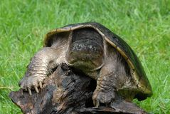 Snapping turtle. Common Snapping turtle on log outdoors Stock Images