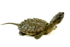 Snapping turtle. A baby snapping turtle isolated on a white background Royalty Free Stock Images