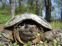 Snapping Turtle. A young snapping turtle basking in the sun Stock Photos