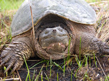 Snapping Turtle. Photograph of a large adult Snapping Turtle looking at the camera royalty free stock images