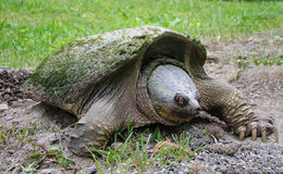 Snapping Turtle. Female snapping turtle prepares to lay her eggs Royalty Free Stock Photography