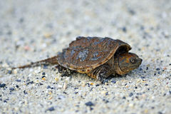 Snapping Turtle. Common Snapping Turtle crawling in the sand Royalty Free Stock Images