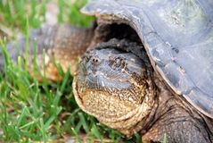 Snapping turtle. Close-up of an adult snapping turtle Stock Photos