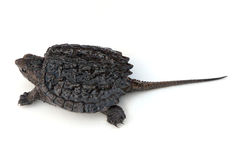 Snapping Turtle. Common Snapping Turtle hatchling (Chelydra serpentina) on a white background. Shell is 1 1/4 Royalty Free Stock Image
