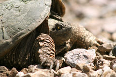 Snapping Turtle. Profile of a snapping turtle with glowing yellow eyes basking in the sun, shallow DOF Stock Photo