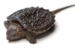 Snapping Turtle. Common Snapping Turtle hatchling (Chelydra serpentina) on a white background royalty free stock image