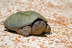 Snapping Turtle. Common Snapping Turtle crawling on a dirt road Stock Photography