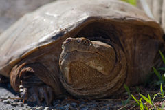 Snapping Turtle. Close-up of a Common Snapping Turtle (Chelydra serpentina royalty free stock images