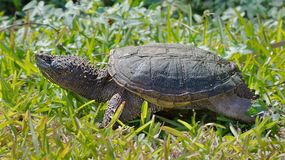 Snapping turtle. Juvenile Common snapping turtle basking in the sun in the Florida Everglades Royalty Free Stock Photos