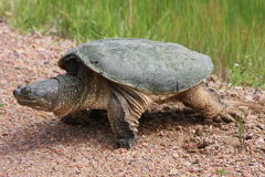 Snapping turtle. Laying digging a nest Royalty Free Stock Images