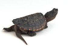 Snapping Turtle. Photograph of a young Snapping Turtle, isolated on white Royalty Free Stock Photo