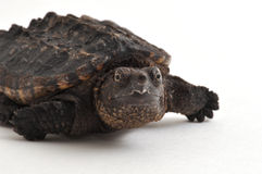 Snapping Turtle. Close-up photograph of a baby Snapping Turtle isolated on a white background Royalty Free Stock Images