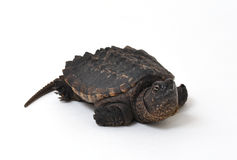Snapping Turtle. Close-up photograph of a baby Snapping Turtle isolated on a white background Stock Photo