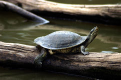 Snapping Turtle. A snapping turtle on a log in the water Stock Photography