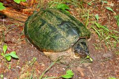 Snapping Turtle in Alabama Stock Photo