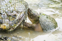 Snapping turtle attacking fish basket Stock Photo