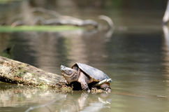 Snapping turtle basking in the sun Stock Photo