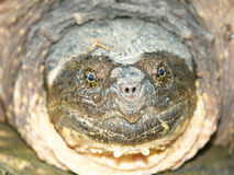 Snapping Turtle (Chelydra serpentina) stock photography
