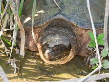 Snapping Turtle (Chelydra serpentina). A Snapping Turtle (Chelydra serpentina) at Deer Run Forest Preserve in northern Illinois Royalty Free Stock Photography