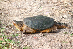 Snapping Turtle (Chelydra serpentina). On a warm spring day near Rockford, Illinois Royalty Free Stock Photography