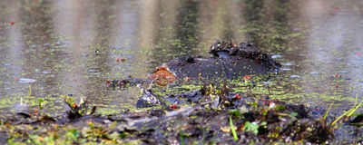 Snapping Turtle (Chelydra serpentina). A Snapping Turtle (Chelydra serpentina) sits in a wetland of Illinois Royalty Free Stock Image