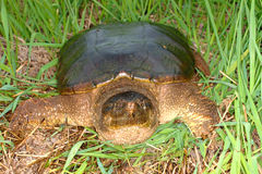 Snapping Turtle (Chelydra serpentina). Sits in a wetland of Illinois Stock Images