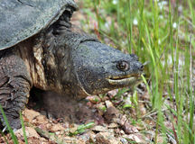 Snapping turtle, chelydra serpentina. Snapping turtle close up of head and neck Stock Image