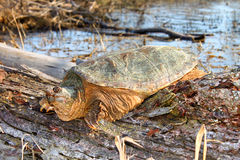 Snapping Turtle (Chelydra serpentina). Basking Snapping Turtle (Chelydra serpentina) on a warm spring day near Rockford, Illinois Royalty Free Stock Photography